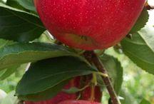 Φρούτα-μήλα-αχλάδια-κυδώνια