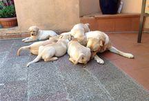 Love Labrador / Di cuccioli di Labrador