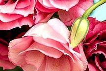 Rosa in borico