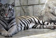 White tiger, Snow leopard