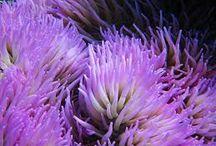Sea Anemones & Corals