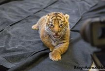 Baby tiger / Baby tiger pictures