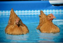 Livestock: Chickens / by Miss Kyra