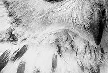 Corujas Brancas