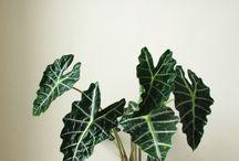 Alokasien - Echtes Tropenflair für Zuhause / Dschungelpflanzen sind im Trend und die Z-Prominenz hangelt sich durch die Dschungelprüfungen. Zeit also für coole Dschungeldeko mit exotischen Pflanzen