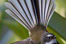 Birds / Nz native