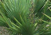 Saw Palmetto Benefits and Side Effects