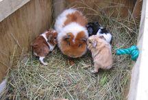 Baby guinea pigs