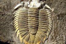 Czech trilobites