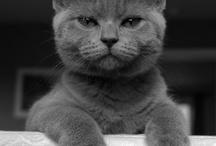 Gatos grises / Imágenes de gatos grises