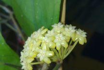 Hoya Viola / First bloom