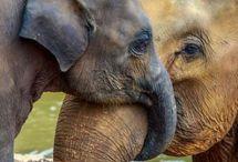 Elephant / Szeretem az elefántokat és féltem őket. Save the Elephants!