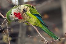 Quaker Parrots / Quakers are the size of a Robin with big personalities!  They learn speech and song very fast.