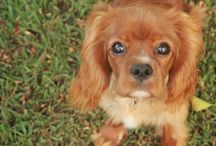 Jane Moore Photography - Cavaliers / Cavalier King Charles and all their cuteness