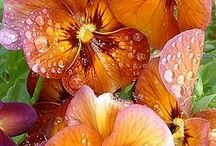 Paintings of Pansies / Lovely flowers that go on for ages. They come in many colours and make fantastic paintings.