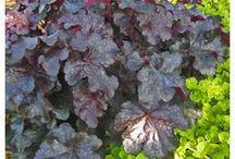 Heuchera, Heucherella, Tiarella - Collect them all! / Superb ground cover for sun or shade