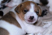 Puppycam 4 - Jack Russell's / by Dogsclub .TV