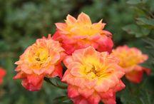 Pflanzen (winterhart) für den Balkon oder die Terasse / Winterharte Pflanzen, die vielleicht auch ein wenig Farbe in den grauen Winter bringen