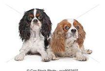 Hund Cavalier King Charles Spaniel