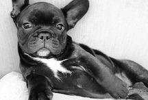 Franse bulldogs