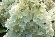 Hydrangeas_paniculata