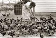 chickens / by Leatrice Gulbransen