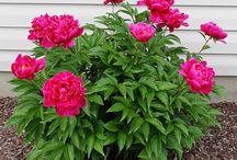 Phoney roses