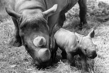 Save the Rhinos / Rhinos are endangered due to poaching, habitat loss, reduced genetic diversity, natural disasters and disease. We need to do our part on preserving our Earth. Why? Try counting your money while holding your breath.