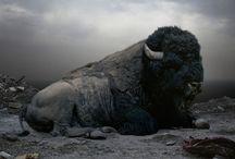 The Buffalo / by Kady Steele