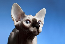 Naked Cats / Sphynxes, Peterbalds, hairless cats, and cats that have been shaved to look like lions. / by Heather Compton