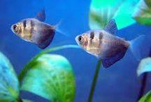 Tropical fish / Aquarium