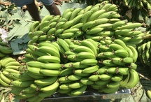 Shimla Hills Banana Farm @ Gujarat,India / Fresh Banana Harvesting for this season started in our farms. Shimla Hills is all set to offer the high grade green bananas to our customers. Sharing some pictures of the First Harvest with all of you.