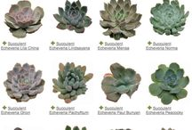 Encheveria