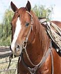 Quarter Horses, St.Bernards, favorite pets