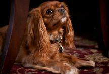 Cavalier King Charles Spaniel / by Lori Holmes