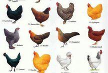 tavuk cinsleri