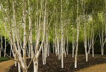 BIRCH FOREST / On this board you will find pictures and photographs showing the birch forest.