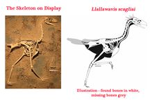 "Terror Birds / Pictures and articles featuring ""Terror Birds"" such as the phorusrhacids.  Giant prehistoric birds."