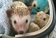 Huffy / Huffy our African Pygmy hedgehog