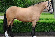 Irish Draught Sport Horses