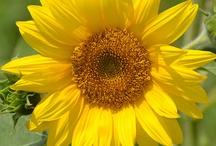 Sunflowers / by Little Devil