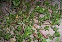 Medicinal plants / Weeds