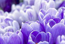 Krokusový květen