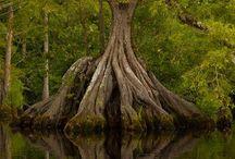 TREES  DRZEWA