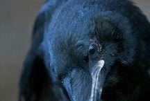 Raven (Corvus)
