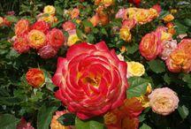"""Rosen - Roses / Rosen - Roses  Es gibt nur wenige Pflanzen, die in einer derart großen Variantenvielfalt vorkommen, wie die die """"Königin der Blumen"""", die Rose.  - There are only a few plants that occur in such a large diversity of varieties as the """"queen of flowers"""", the rose.   #rose #rosen"""