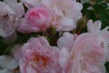 Garden roses climbing