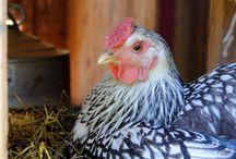 Chickens/Brids