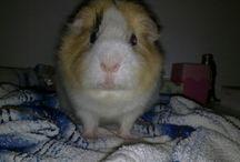 my guinea pig ♡♡
