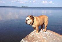 Bulldog  / Dogs
